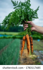 Bunch of fresh carrots in man's hands.Organic carrots in early morning.