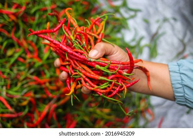 a bunch of fresh curly red chilies (Cabai Merah Keriting) on hand, harvested from fields by Indonesian local farmers. Selective focus of Hot chili pepper stock images. Agriculture background.