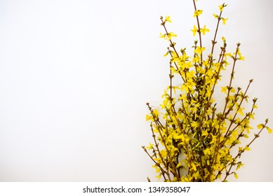 Bunch of fresh forsythia over white background. Frame of yellow forsythia. Copy space. Flat lay