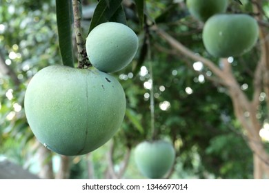 bunch of fresh green mangoes hanging on mango tree in the garden