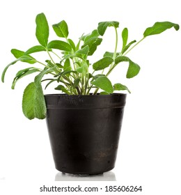 Bunch fresh green sage  growing in  black flower pot isolated on white
