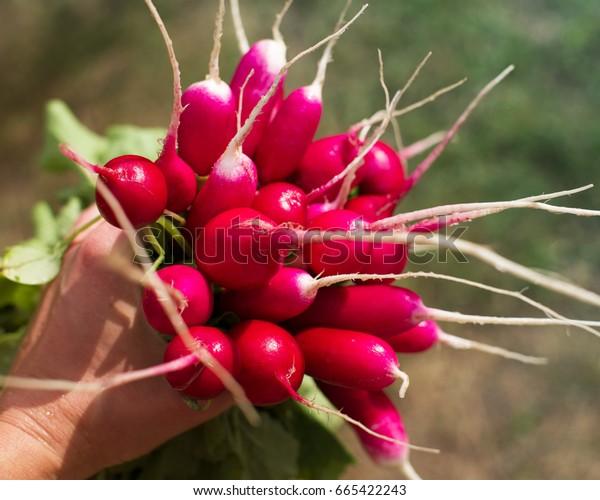 Bunch of a fresh juicy garden radish in a female hand. Summer harvest of a garden radish