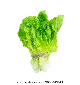 Bunch of fresh lola rosso lettuce leaf tied with plait isolated on white background.