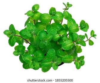 Strauß einer frischen Minzpflanze einzeln auf weißem Hintergrund