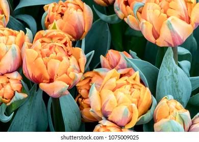 Bunch of fresh orange tulips blossom