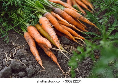 Bunch of fresh organic carrots lying on the soil, on a vegetable garden bed background, close up