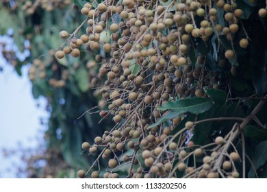 Bunch of fresh organic growing longan fruits on tree with green leaves background and white sky background, Longan Home Garden is a tropical fruit in Thailand.Selective focus.
