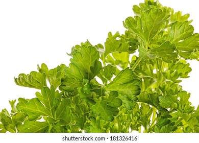 BUNCH OF FRESH PARSLEY ISOLATED ON A WHITE BACKGROUND