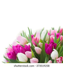 bunch of fresh purple, pink and white tulip flowers close up over white background