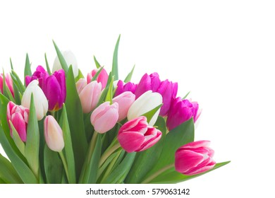 bunch of fresh purple, pink and white tulip flowers close up isolated on white background