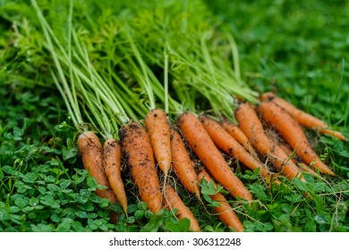 Bunch of a fresh unwashed carrots on a grass