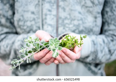 A bunch of fresh wild oregano and hyssop (majoran) in a woman's hands. Hands holding Mediterranenan herbs in a forest