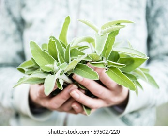 A bunch of fresh wild sage in a woman's hands. Hands holding salvia in a forest