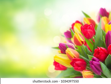 bunch of fresh yellow, purple and red tulips over garden background with copy space
