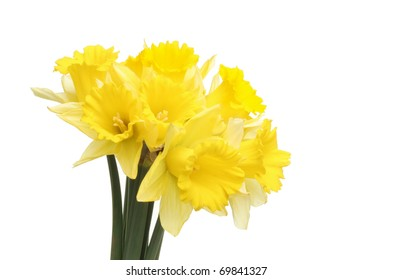 Bunch of golden daffodils isolated against white
