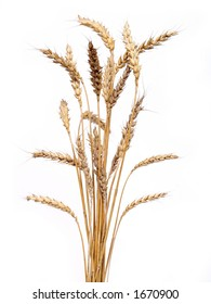 bunch of golden wheat isolated on white background