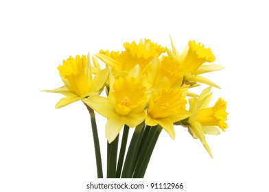 A bunch of golden yellow daffodil flowers isolated against white