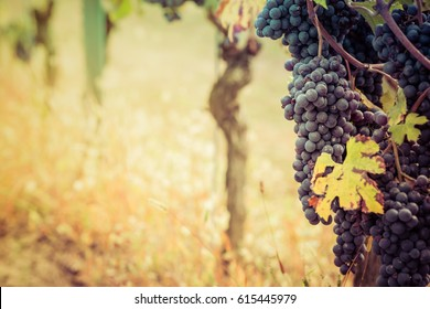 Bunch of grape in the vineyard