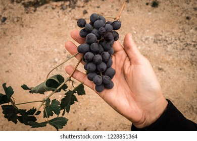 bunch of grapes of amarone della valpolicella