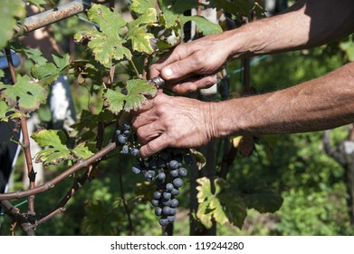 bunch of grapes being picked from row