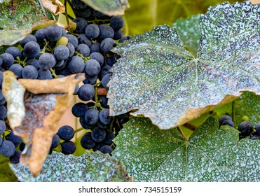 A bunch of grapes between leaves, processed with copper sulfate. Chemical treatment with Bordeaux mixture. Plant diseases. Excess chemicals in the plant growing.