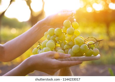 bunch of grapes in female hands on sunset background
