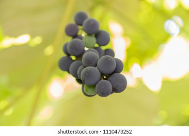 Bunch of grapes grows on a branch on a blurred green foliage background. Focus on the foreground