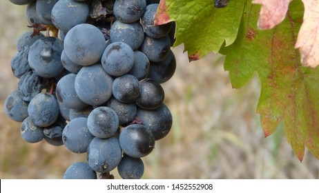 bunch of grapes hang from a vine, Close Up of red wine grapes