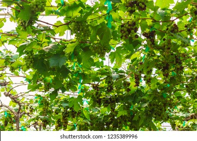 A bunch of grapes hanging on a railing in a greenhouse.