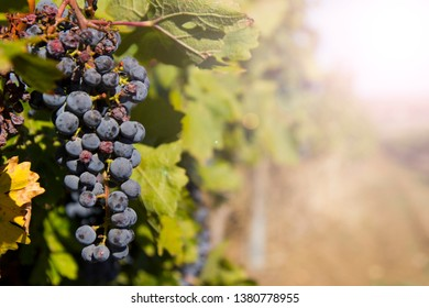 bunch of grapes on a branch