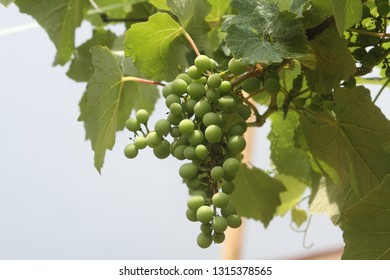 the bunch of grapes on the vine
