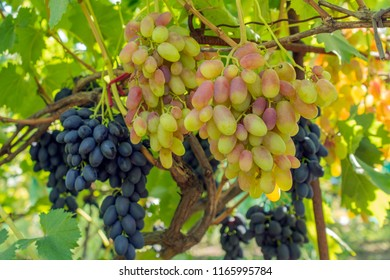 bunch of grapes on the vine, cultivation of vineyard winemaking viticulture