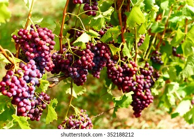 Bunch of grapes on a vine in fall / The winegrowers grapes on a vine / red wine