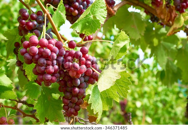 Bunch of grapes on a vine in the sunshine / The winegrowers grapes on a vine / red wine