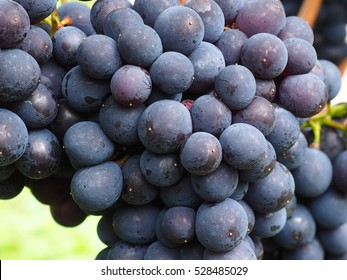 bunch of grapes in purple