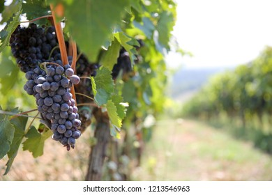 Bunch of grapes in a  Tuscan vineyard