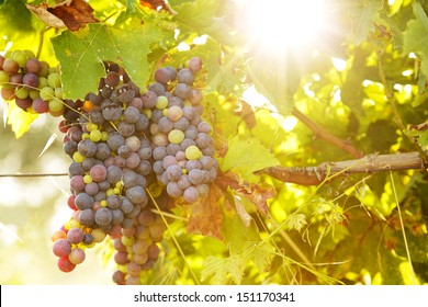 Bunch of grapes under the sunset sun