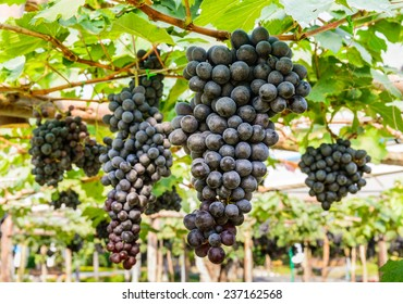 Bunch of grapes in the vineyard.