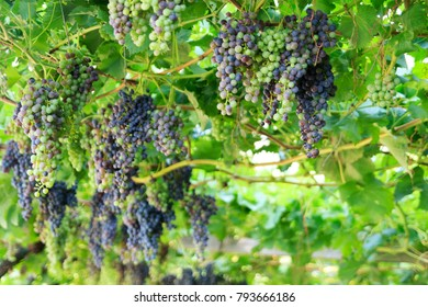 Bunch of grapes at vineyard in Merano, South Tyrol