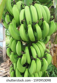 Bunch of green bananas growing on the banana tree in French West Indies. Martinique Tropical landscape