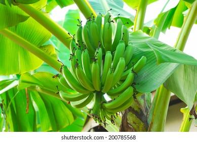 Bunch of green bananas on tree