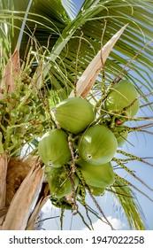 bouquet de noix de coco vertes sur le cocotier au ciel bleu