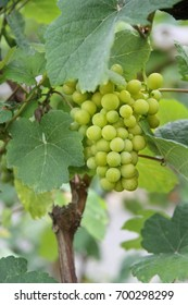 A bunch of green grapes growing on a grapevine