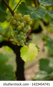 bunch of green grapes on green background