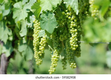 Bunch of green grapes on a farm