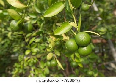 Bunch of green lemons on a lemon tree branch in garden