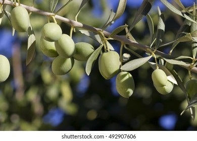 A bunch of green olives in a tree (plea europaea)