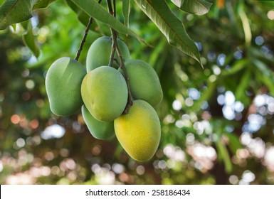 Bunch of green ripe mango on tree in garden. Selective focus