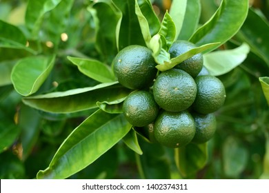 Bunch of green unripe limes on a lemon tree surrounded by fresh green leaves. Green color predominates. / Close-up of exotic fruit tree in Australia.