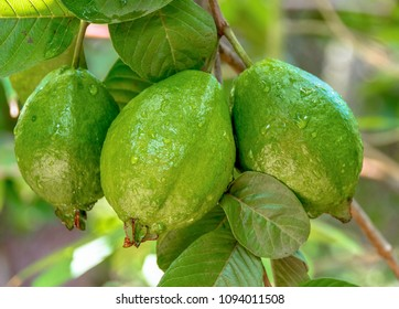 Bunch of guava fruits in a tree